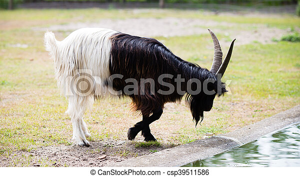 Billy goat on the wild national park. - csp39511586