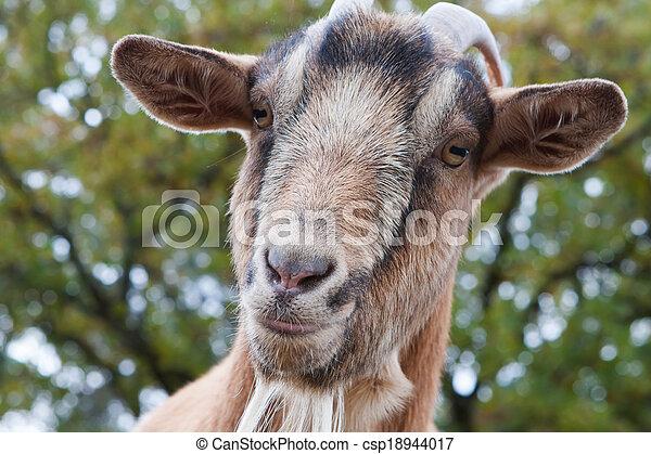 Billy Goat Portrait - csp18944017