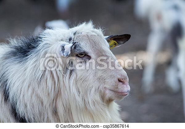 Billy goat portrait - csp35867614