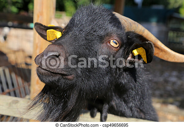 Billy Goat portrait - csp49656695