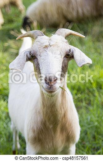 Billy goat - csp48157561