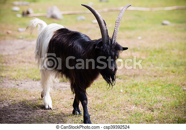 Billy goat - csp39392524