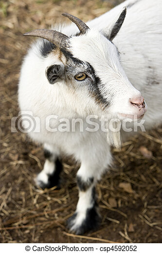 Billy goat - csp4592052