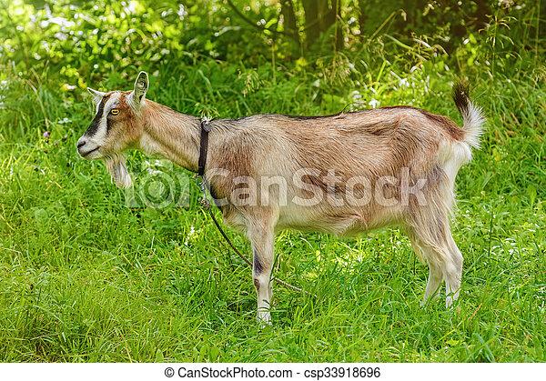 Billy Goat - csp33918696