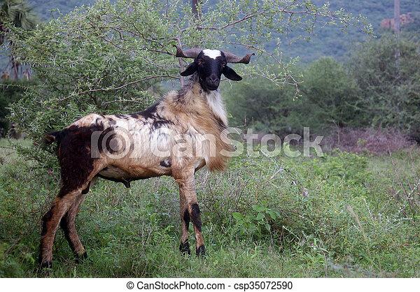 Billy goat - csp35072590
