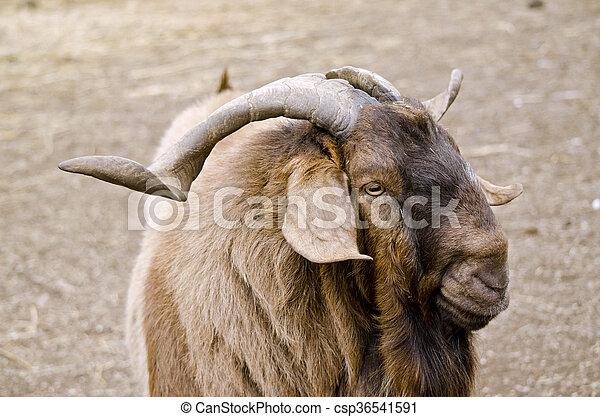 billy goat - csp36541591