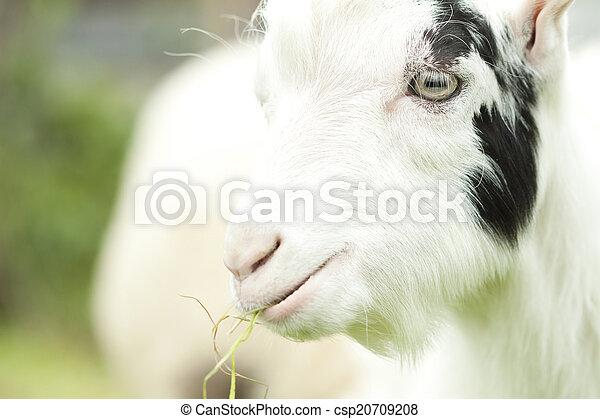 Billy goat - csp20709208