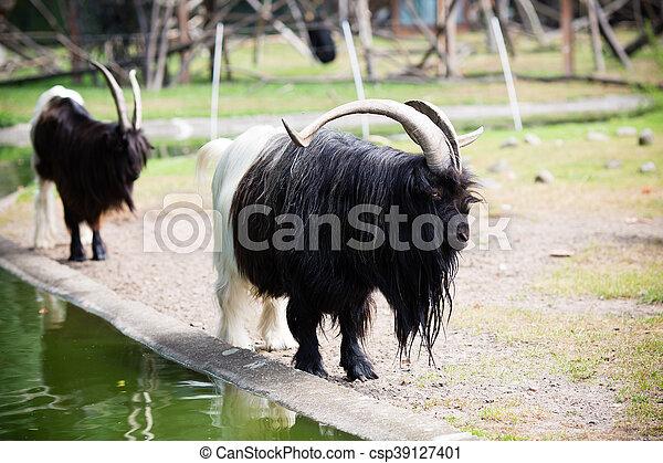 Billy goat - csp39127401
