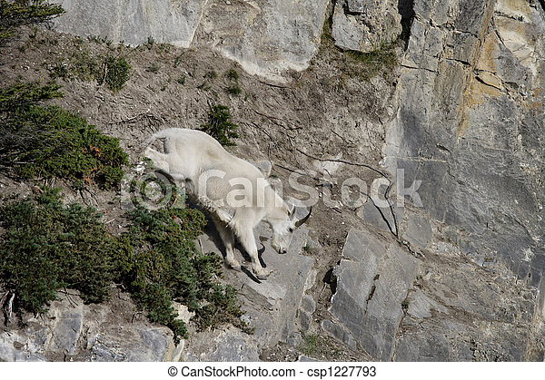 Billy Mountain Goat - csp1227793