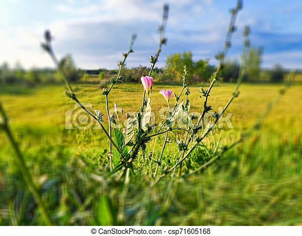 bindweed, sol, närbild, verkan, belyst, fält, bokeh - csp71605168