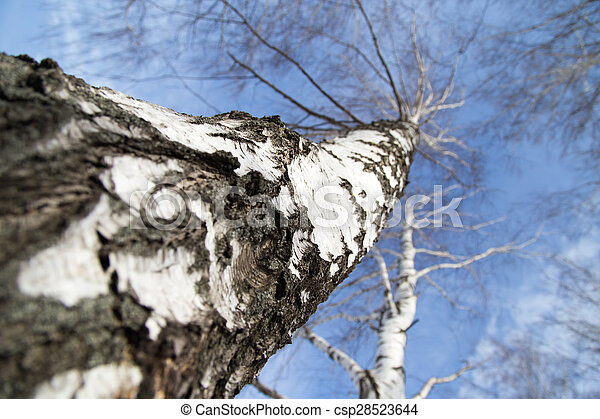 birch against the blue sky - csp28523644