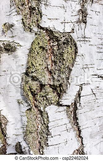 birch bark texture background - csp22462024
