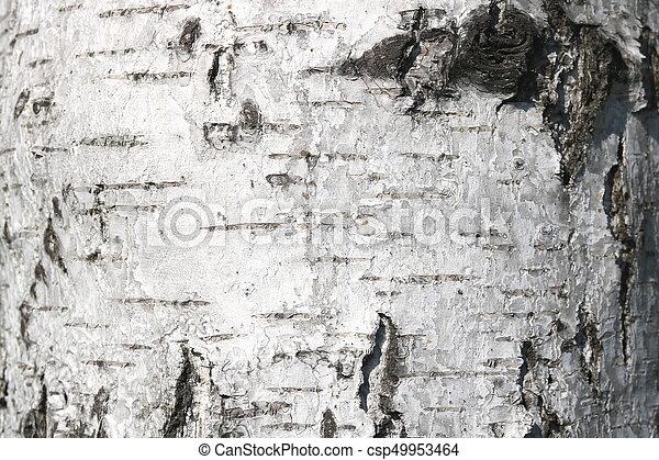 Birch bark texture - csp49953464