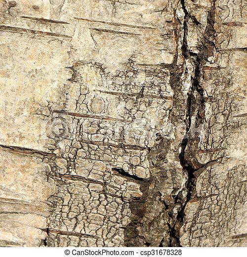 Birch bark texture. - csp31678328