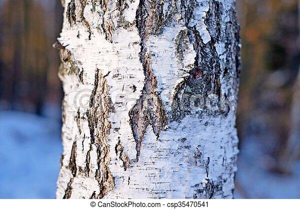 Birch bark, texture - csp35470541