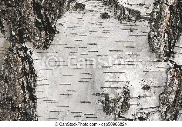 Birch bark texture - csp50966824