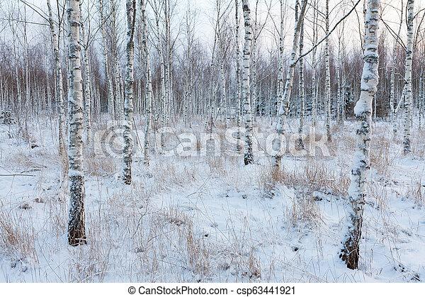 Birch forest landscape in Finland - csp63441921