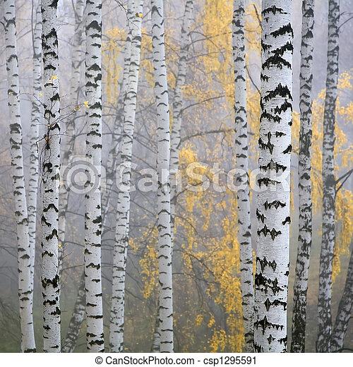 birch forest - csp1295591