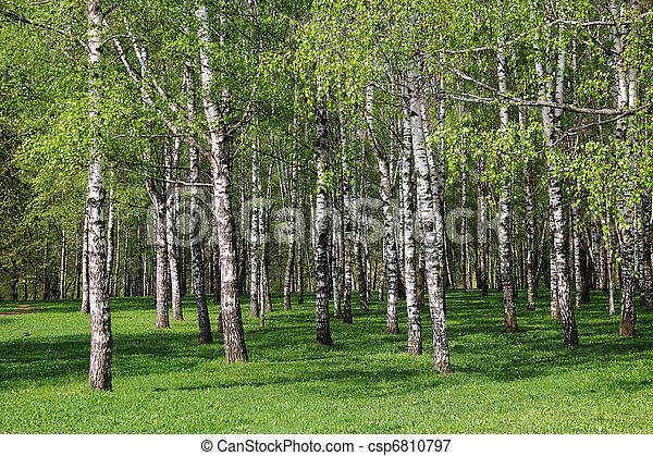 Birch forest. - csp6810797