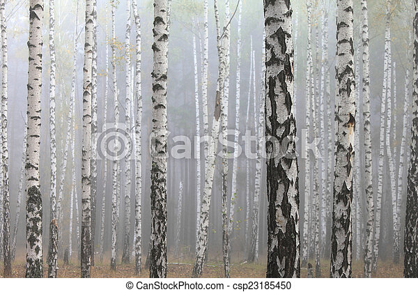 birch forest - csp23185450