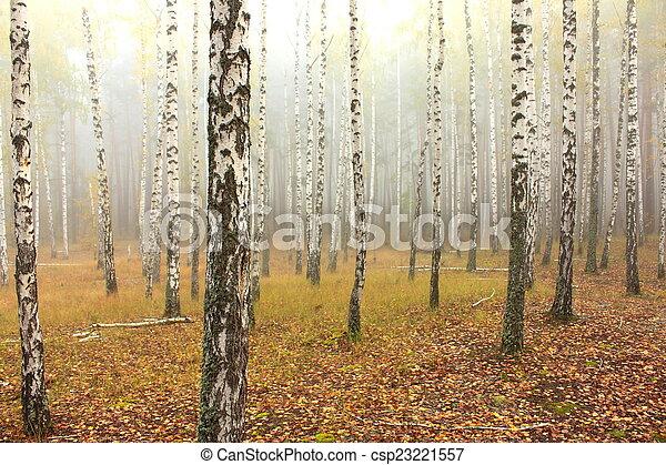 birch forest - csp23221557