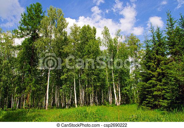 birch forest - csp2690222