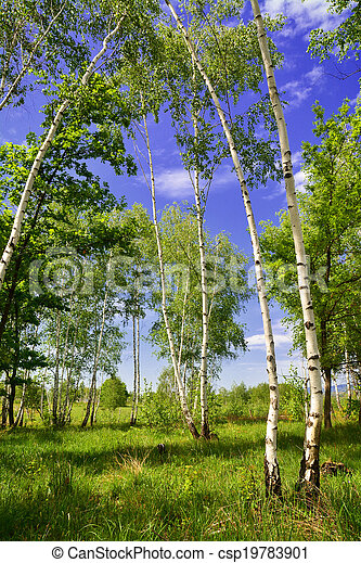 birch forest - csp19783901