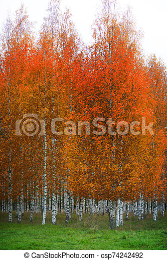 Birch forest with orange and brown leaves - csp74242492
