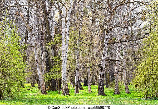 birch grove in the spring landscape background - csp56598770