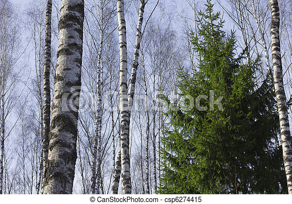 birch grove in the spring - csp6274415