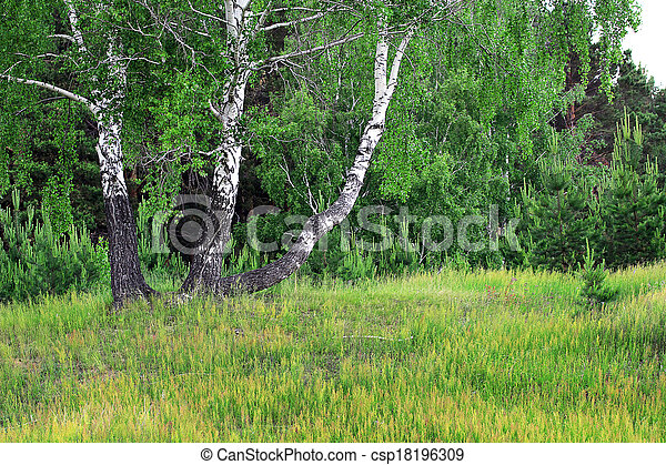 birch grove in the spring - csp18196309