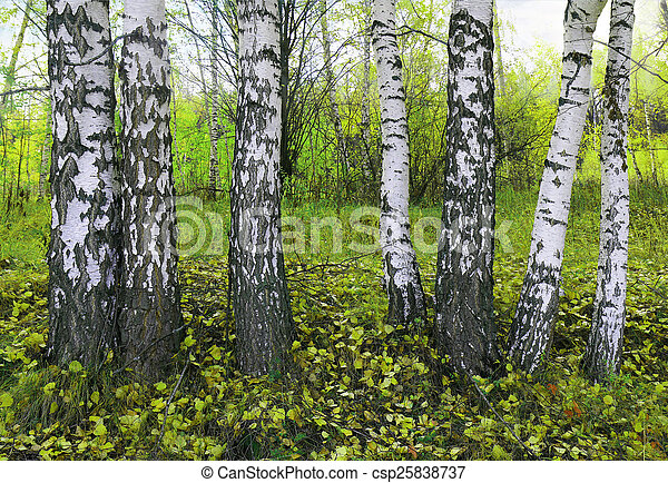 birch grove in the spring - csp25838737