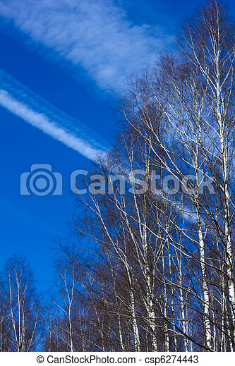 birch grove in the spring - csp6274443