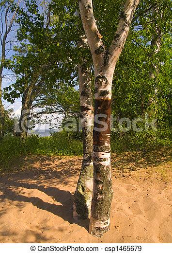 Birch in Sand - csp1465679