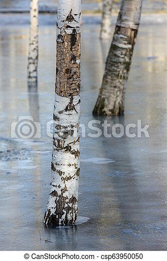 birch in the park - csp63950050