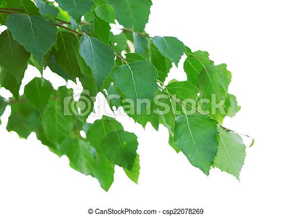 birch leaves  - csp22078269