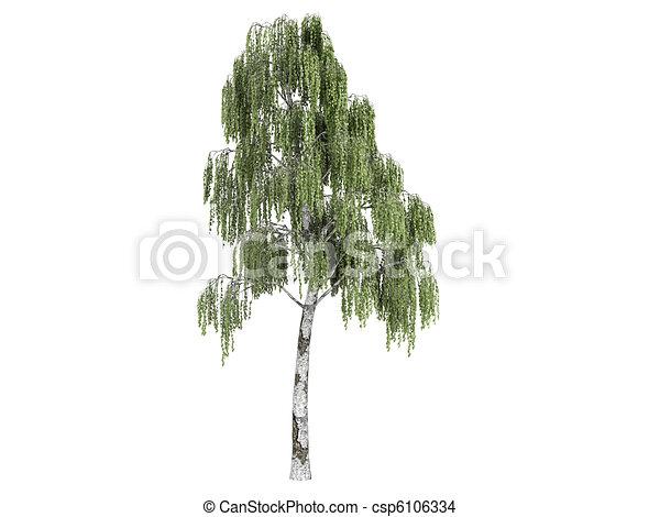 Birch or Betula - csp6106334