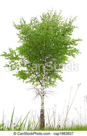 Birch - csp1983837