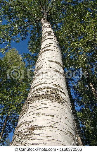 Birch - csp0372566