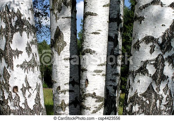 Birch - csp4423556