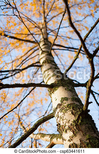 Birch tree at autumn - csp63441611