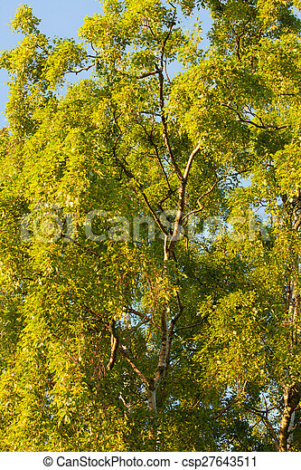 Birch tree foliage - csp27643511