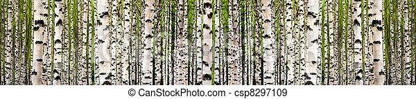 Birch tree forest - csp8297109