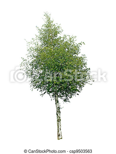 Birch tree isolated on white background - csp9503563