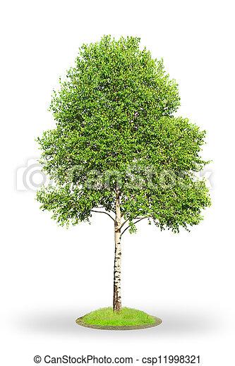 Birch tree isolated on white - csp11998321