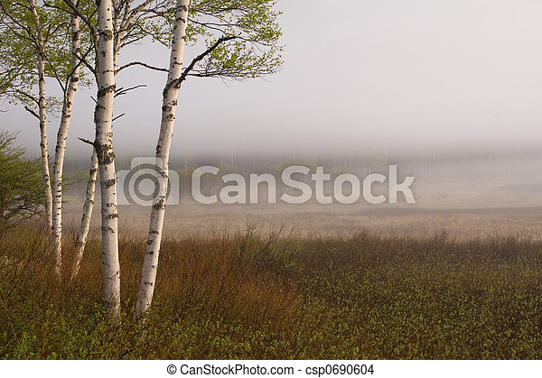 Birch Trees II - csp0690604