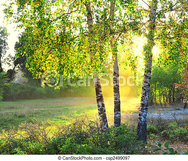 birch trees in a summer forest - csp2499097