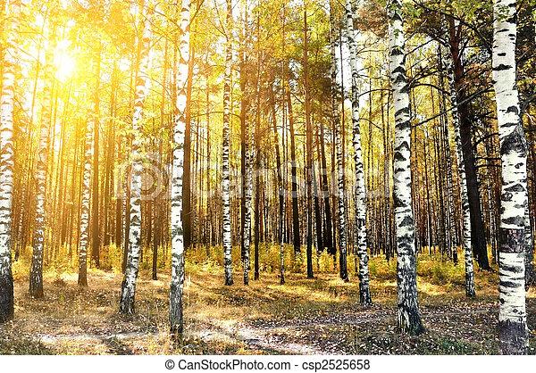 birch trees in a summer forest - csp2525658