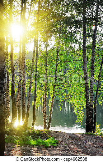 birch trees in a summer forest  - csp4662538