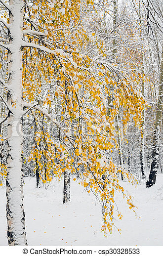Birch trees in fall colors and fresh snow - csp30328533